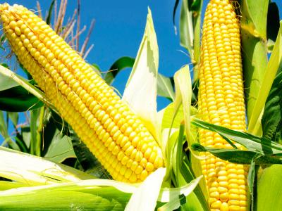 Falta de milho no mercado interno pode fazer indústrias goianas paralisarem suas atividades
