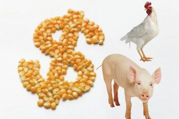 Milho caro deve reduzir oferta de aves e suínos