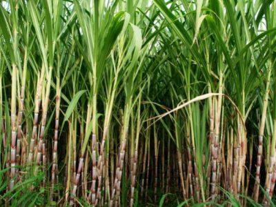 Jalles e IAC lançam novas variedades de cana-de-açúcar